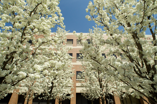 White blossoms on tree in front of UM-Flint's William S. White Building