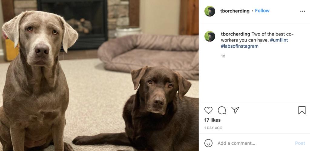 Two labrador retrievers in an instagram post.
